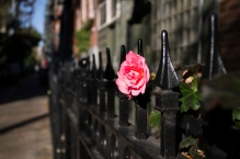 A rose in East Village Manhattan