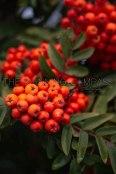 Red-orange berries on a tree